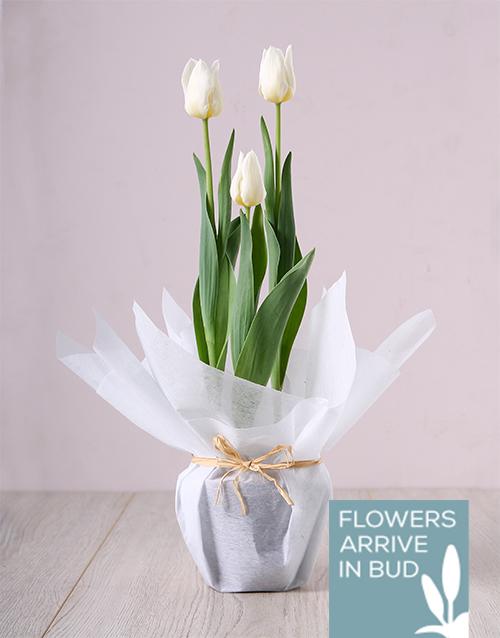 secretarys-day: White Tulip Plant!