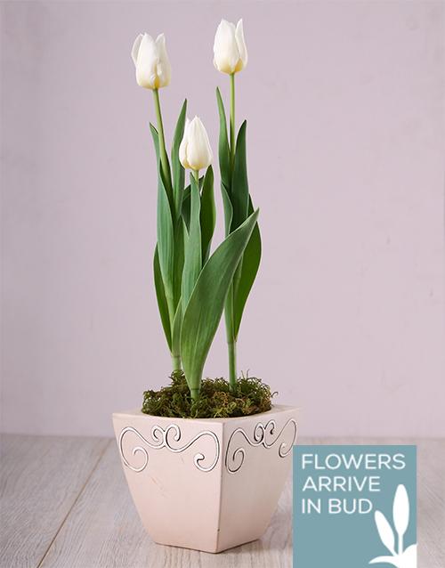 plants: White Tulips in Ceramic Pot!
