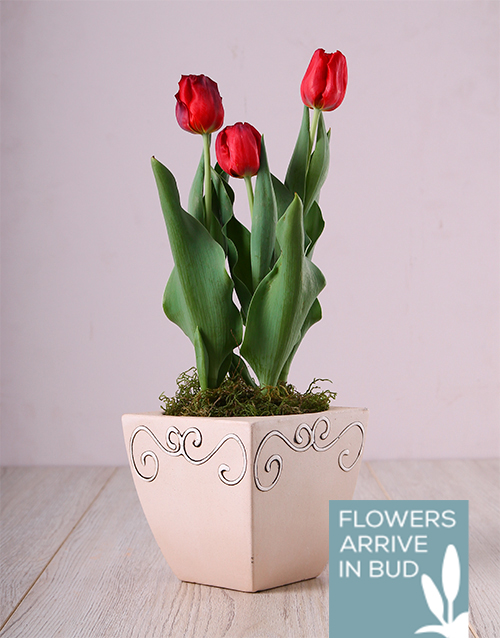 tulips: Red Tulips in Ceramic Pot!