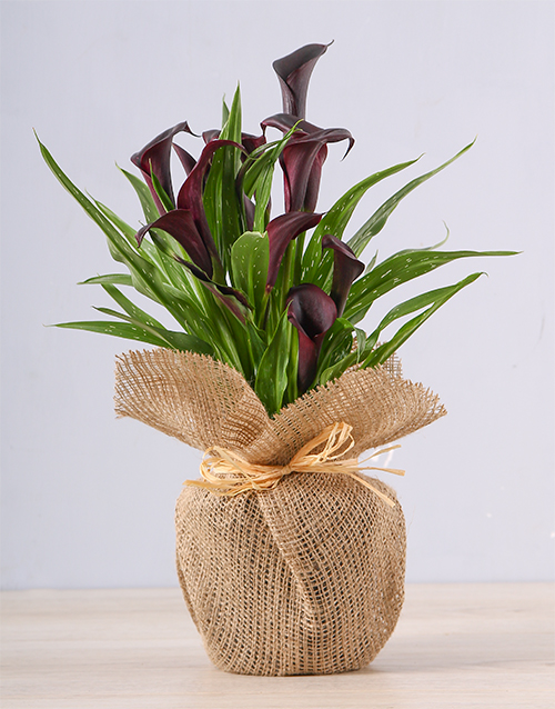bosses-day: Black Zantedeschia Plant!
