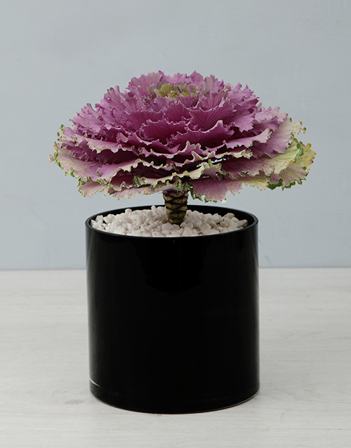 colour: Kale Plant in Black Cylinder Vase!