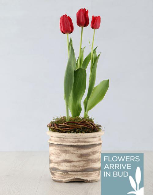 tulips: Red Tulip Plant in Ceramic Pot!