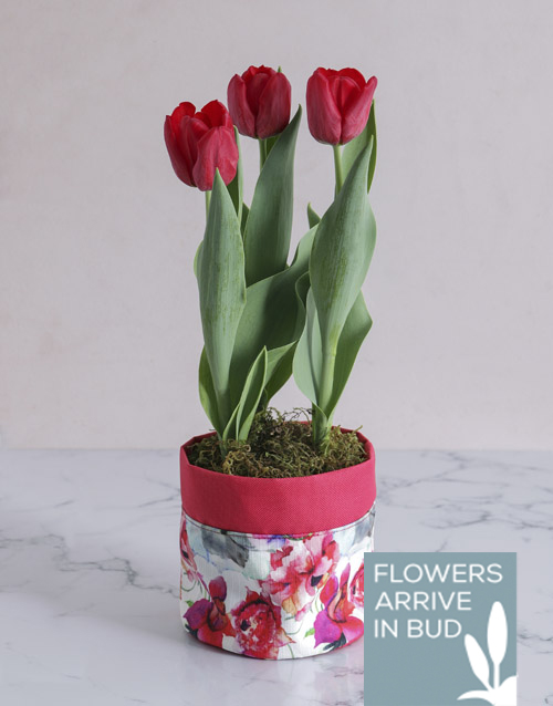 spring-day: Red Potted Tulip in Fabric Pot Cover!