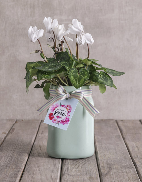 colour: White Cyclamen in Mint Container!