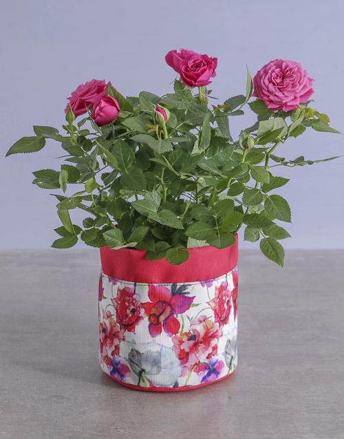 flowers: Cerise Rose Bush In Floral Planter!