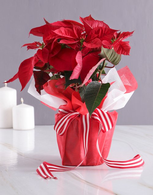 plants: Poinsettia in Red Wrapping!