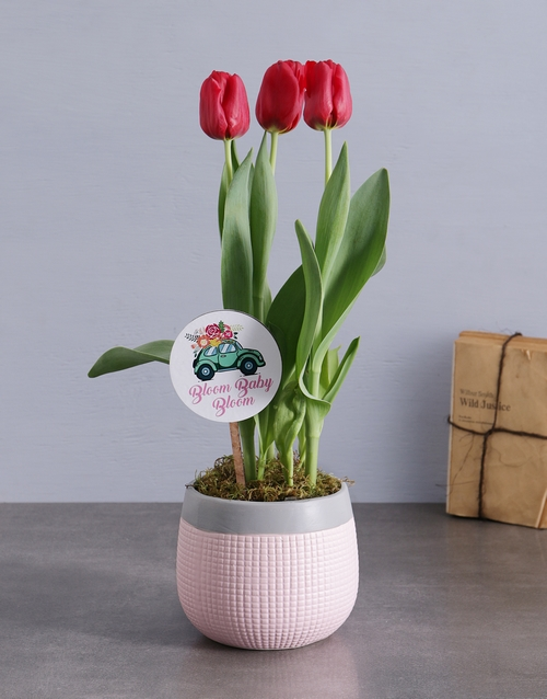 colour: Red Tulips in Pink and Grey Pot!