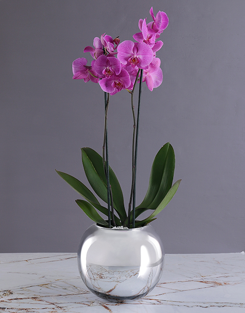 christmas: Fortune Tellers Orchid Pot!