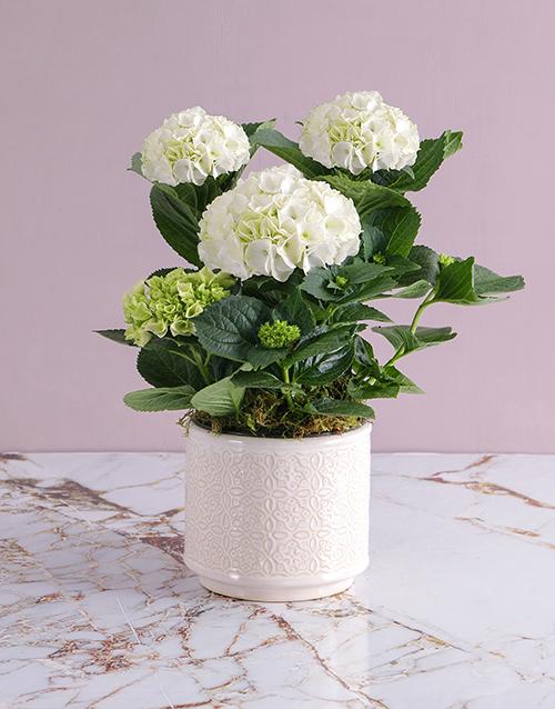 apology: Hydrangeas In Glazed Cream Pot!