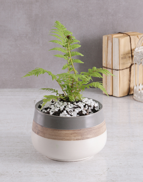 fathers-day: Fern in Ceramic Pot!