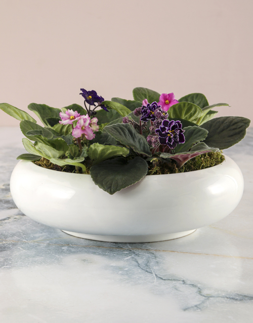 african-violets: African Violet Mix In Ceramic Pot!