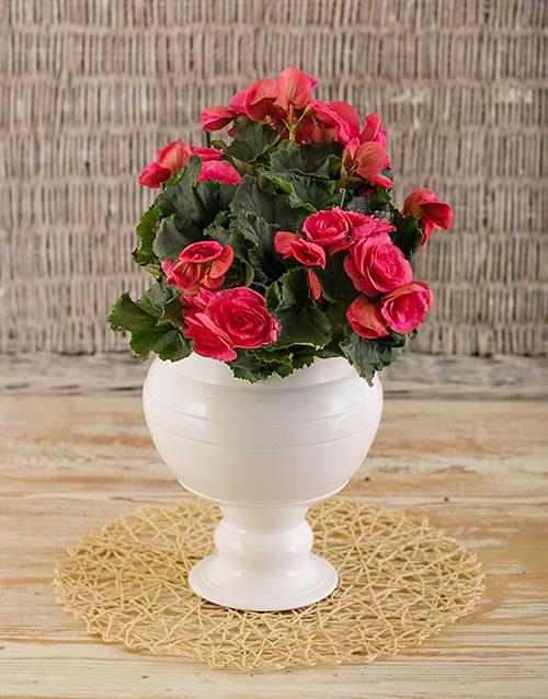 begonia: Begonia in glazed pot!